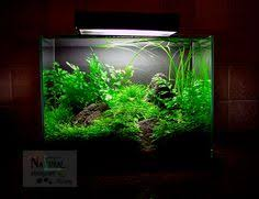 live nature aquarium freshwater plant staurogyne sp porto velho