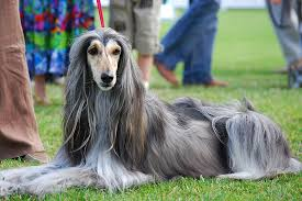 afghan hound king of dogs afghan hound animals a z animals