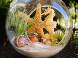 Where To Buy Seashells Where To Buy Air Plants 8524