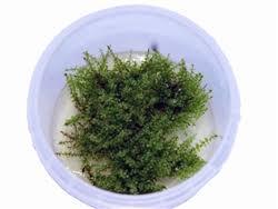 tissue culture plants cryptocryne echinodorus sword