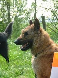 belgian sheepdog trials belgian sheepdog laekenois dog breed pictures 7
