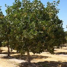 pistachio trees for sale fast growing trees pistachio tree