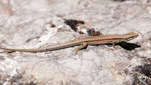 what is the lifespan of a wall lizard reference com