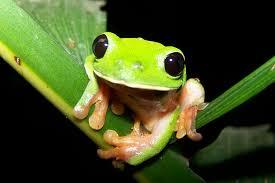 morelet s tree frog