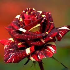favorable 30pcs abracadabra china rose seeds diy home garden decor