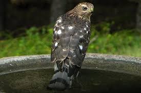 The Backyard Bird Company - how to attract backyard hawks