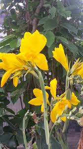 Cana Lilly Universal Landscape In West Palm Beach Florida
