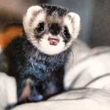 cutest face i u0027ve ever seen ferrets