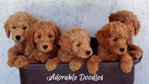 goldendoodle puppy treats goldendoodles and bernedoodles adorable doodles in michigan