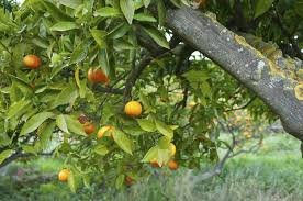how to remove sooty mold from citrus trees hunker