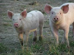 u0027s smarter u2014 pigs kids video green planet