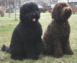 Do All Short Haired Dogs Shed by 15 Dog Breeds That Absolutely Love The Water U2013 Iheartdogs Com