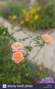 pale orange coloured rose in a cottage garden stock photo royalty