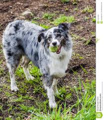 australian shepherd 3d model australian shepherd dog with white and gray markings stock photo