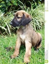 afghan hound kennel in australia cute afghan hound puppies funny puppy u0026 dog pictures