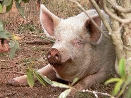 cerco animali da cortile maiali vendita maiali