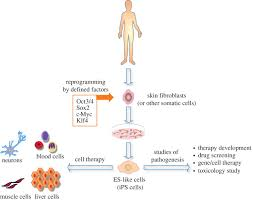 stem cell therapy and pluripotency philosophical transactions of