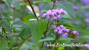 native plant center ecobeneficial tips late season native plants for shade at mt cuba