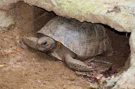 what u0027s digging holes in my yard the gopher tortoise and what