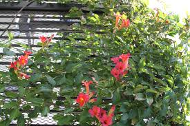 scarlet trumpet vine monrovia scarlet trumpet vine