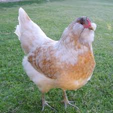 buy easter egger chickens 6 week olds easter egger from my pet chicken