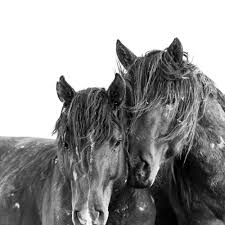 black mustang horse wild mustangs gallery u2014 the art of seeing