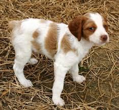 8 week old australian shepherd mix brittany dog shipping rates u0026 services