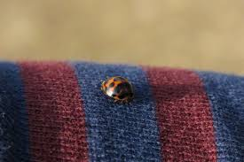 how to safeguard your home from annual asian beetle invasions