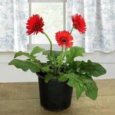 gerbera plant potted gerbera plant at rs 699 gerbera plant id 13905734612
