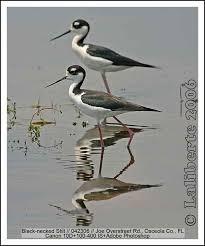 Nc Backyard Birds Backyard Bird Identification Killdeer Avocet Stilt