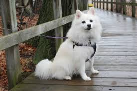 american eskimo dog varieties the ultimate dog breeds list pet symptoms guide