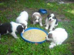 bearded collie x border collie puppies for sale border collie great pyrenees u003d my puppies adopted the dog