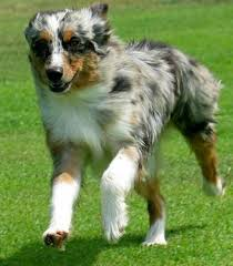 australian shepherd 3d model 769 best australian shepherd aussie images on pinterest animals