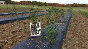 native plant project unh scientist takes aim at invasive non native plants threatening