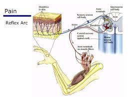 Pain Reflex Pathway Psychology The Somatosensory System Psychology 3552 Introduction