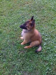 belgian shepherd health problems the dog blog u2014 rebecca marks