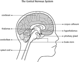 What Is The Main Function Of The Medulla Oblongata The Brain And Spinal Cord Canadian Cancer Society