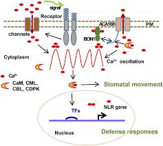 calcium pumps and interacting bon1 protein modulate calcium