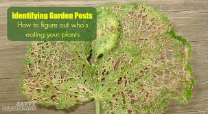 identifying garden pests how to figure out who u0027s eating your plants