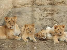 Toledo Zoo Halloween 2014 by Fort Wayne Zoo Getting New Male Lion Wane
