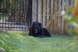 black bear cbs new york