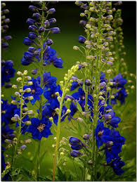 227 best delphinium images on pinterest delphiniums flowers and