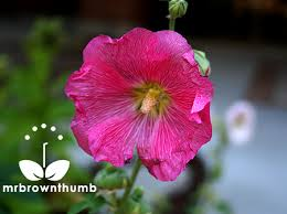 Hollyhock Flowers How To Collect Hollyhock Seeds Mrbrownthumb