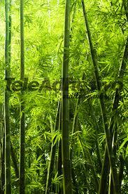 bambu texture wall murals bamboo