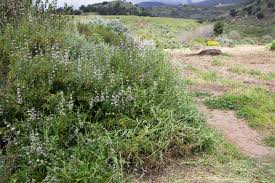 native sage plants plants of the san marcos foothills preserve