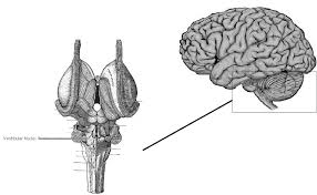 What Portion Of The Brain Controls Respiration The Sleep Paralysis Project Neurobiology