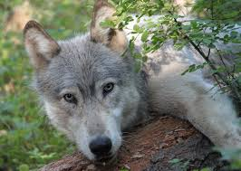 Oregon wild animals images Wolves come home to oregon oregon wild jpg