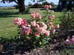 lady of the mist rose although rose sellers do not list it as
