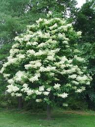 Good Backyard Trees by Best 25 Lilac Tree Ideas On Pinterest Lilac Plant Lilac Bushes