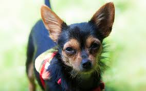 short haired chorkie the chorkie a chihuahua yorkshire terrier mix breed puppy